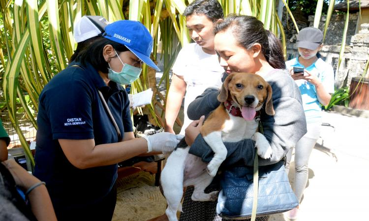 Sterilization ad vaccination of pets and stray dogs in Sanur. balipicturenews.com