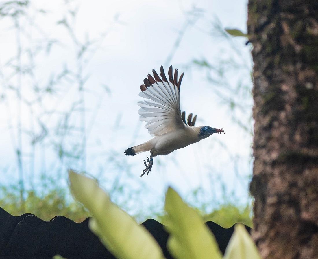 Free flying wild Bali Starlings.